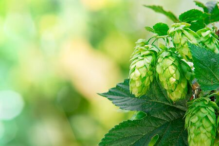 hop cones: detail of hop cones in the hop fild, place for text