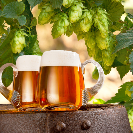 Two glasses of beer in the hop field