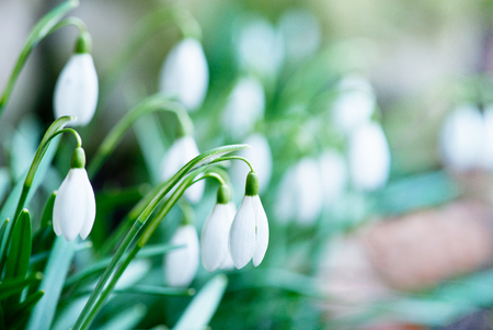 detail of snowdrops in the garden in the springtime Standard-Bild