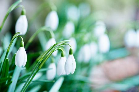 detail of snowdrops in the garden in the springtime Standard-Bild