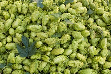 hop cones: hop cones raw material for beer production Stock Photo
