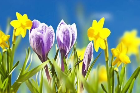 bouquet fleur: le violet crocus au printemps dans le jardin Banque d'images