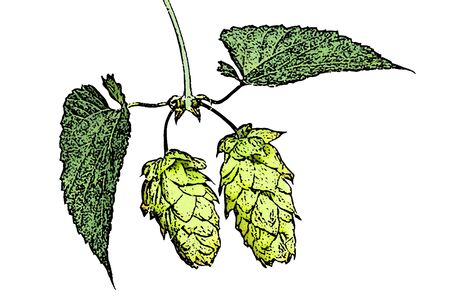 hopgarden: illustration of hop cones on the white background Stock Photo