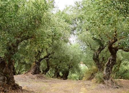 Oude olijfbomen in het eiland van Zakynthos, Griekenland