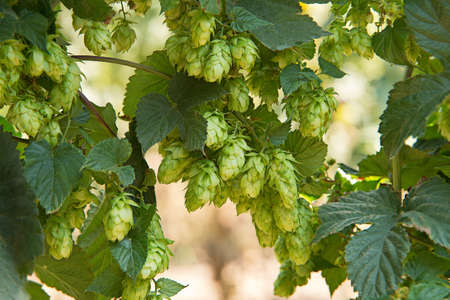 hop cones: detail of hop cones in the hop fild Stock Photo