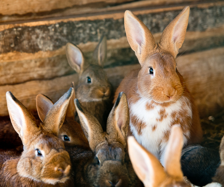 hutch: a lot of rabbits in the wooden hutch