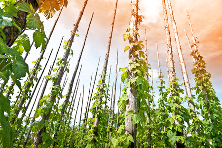 offset angle: traditional hop field with hop-pole at sun down