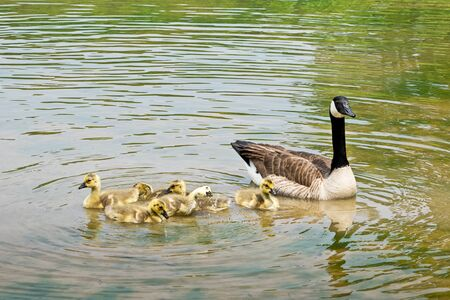 canadian geese: Swimming Canadian geese with goslings on the pond Stock Photo