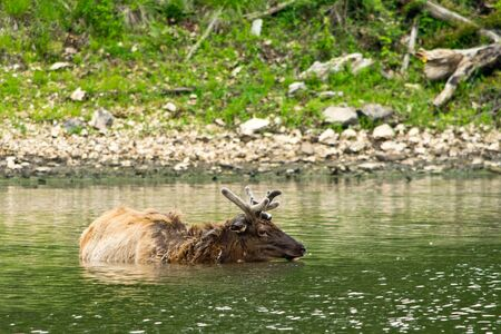 wilds: An elk swimming in lake in the wilds