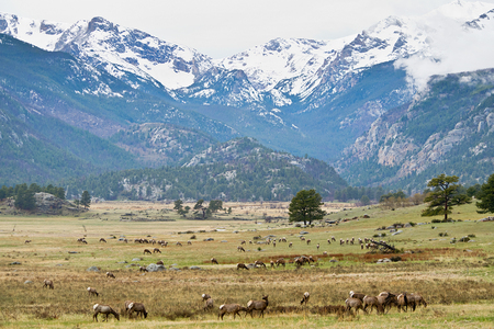 rocky mountains colorado: White-tailed deer in Rocky Mountains in Colorado Stock Photo