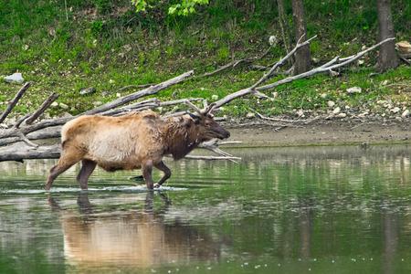 wilds: An elk walking into water in the wilds