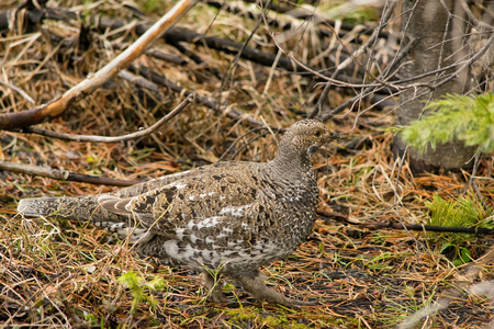 wildness: Ptarmigan in the wildness in Colorado in springtime