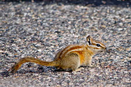 canyonlands national park: Chipmunk in  Canyonlands National Park in Utah Stock Photo