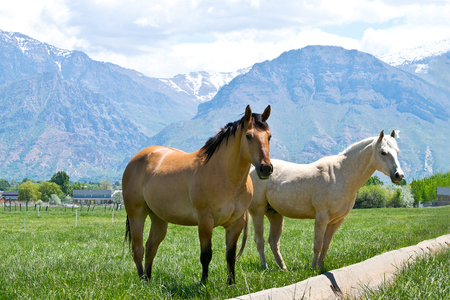 wasatch: Two Utah horses in the nature Stock Photo