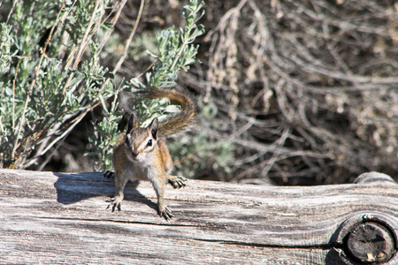 wilds: Utah chipmunk on the dry tree in the wilds