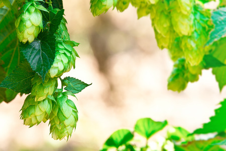 detail of hop cones in the hop field, place for text Stock Photo
