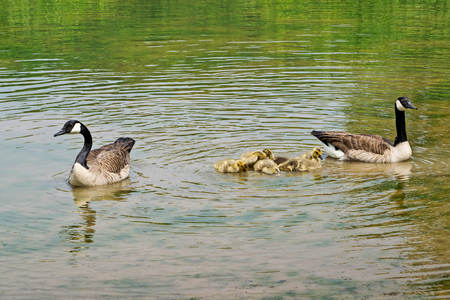 Swimming Canadian geese with goslings on the pond Stock Photo