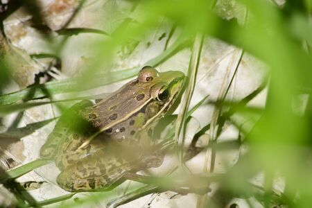 protruding eyes: Wood frog behind and grass in the springtime Stock Photo