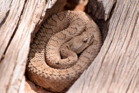faded: Midget Faded Rattlesnake in the wilds, Colorado Stock Photo
