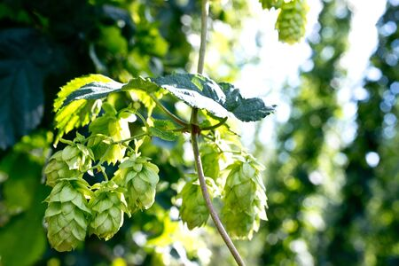 hop cones: detail of hop cones before the harvest