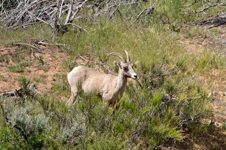 borrego cimarron: borrego cimarrón en el Parque Nacional de Zion, Utah Foto de archivo