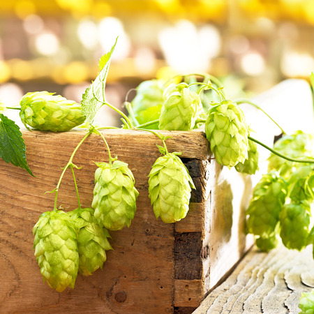 still life with hop cones in the farm