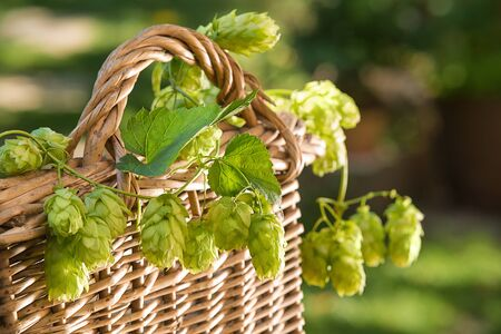 still life with hop cones in the wicker basket