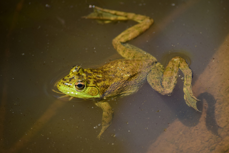 protruding eyes: Green frog in the water, view from above Stock Photo