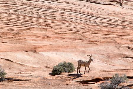 borrego cimarron: borrego cimarr�n en el Parque Nacional de Zion, Utah Foto de archivo