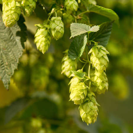 hop cones: detail of hop cones in the hop field Stock Photo