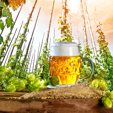 hopfield: traditional hop field and beer at sun down Stock Photo