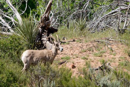 bighorn sheep: Bighorn sheep in Zion National Park, Utah Stock Photo