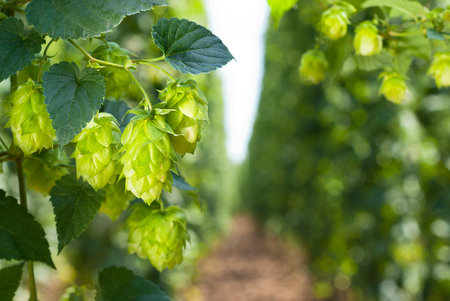 hopfield: hop cones - raw material for beer production Stock Photo