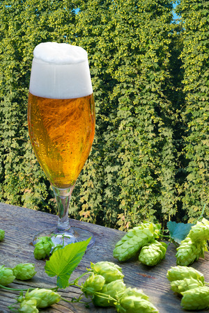 Beer glass with hop cones in the hop field