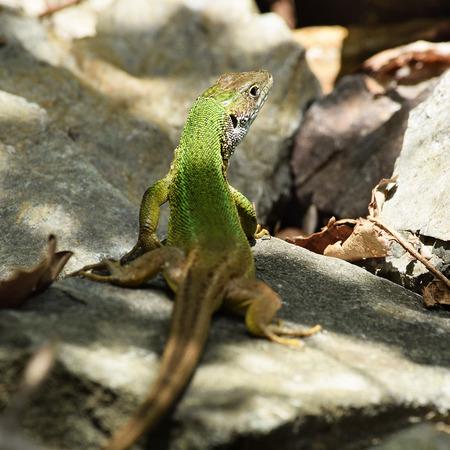 European green lizard in the wild