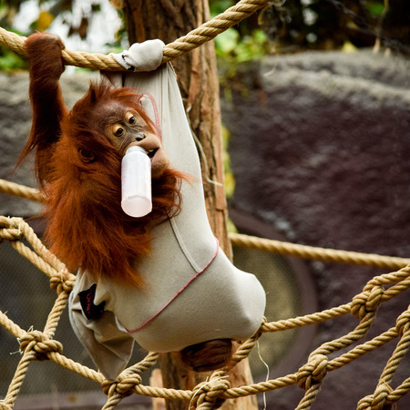 A young orang-utan with glass of milk in zoo