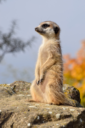A meerket is watching over in the nature Stock Photo