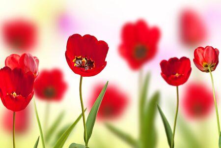 aiuola di tulipani rossi, profondità di campo