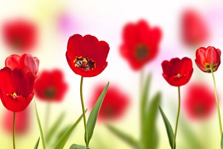 flowerbed of red tulips, shallow depth of field