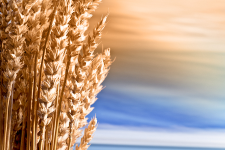 beardless: Sheaf Of Wheat On The Blue Sky