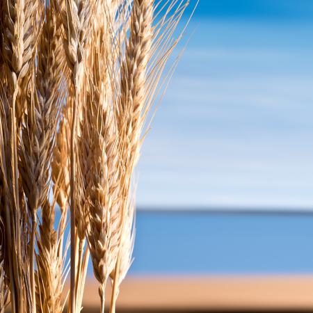 beardless: Sheaf Of Barley On The Blue Sky
