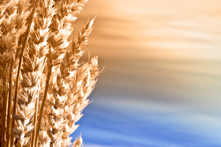 sunup: Sheaf Of Wheat On The Blue Sky
