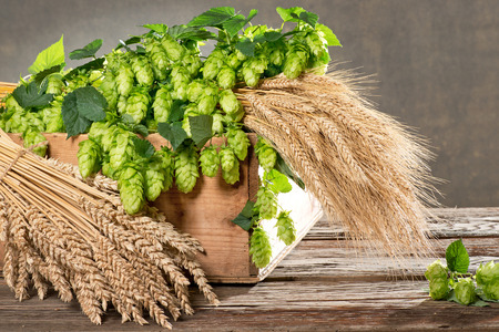 brewery: still life with hop cones barley and wheat Stock Photo