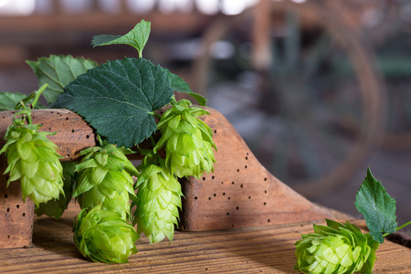 brewery: hop cones in the old  farm barn