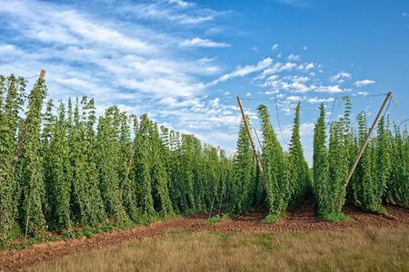 hopfield: Hop Field Before Harvest. Czech Republic.