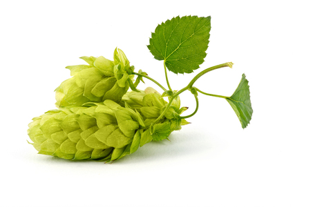 Hop Cones Isolated on the White Background. Stock Photo