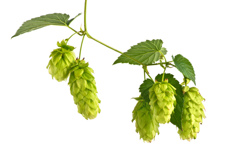 brewery: Hop Cones Isolated on the White Background. Stock Photo