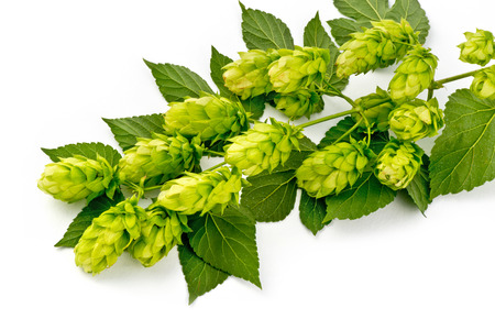 Hop Cones Isolated on the White Background. Imagens