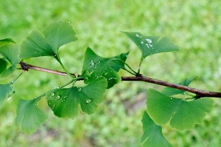 Detail of Ginkgo Blades with Drops of Water Stock Photo