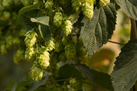detail of hop cones in the hop fild Stock fotó